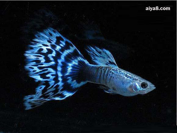 马赛克孔雀鱼怎么养