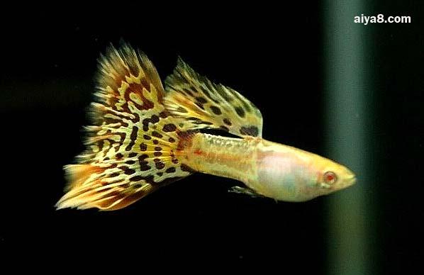 马赛克孔雀鱼图片