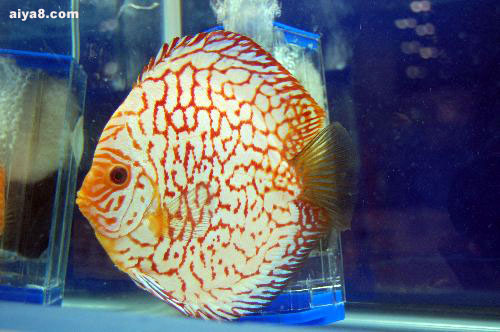 七彩神仙鱼图片