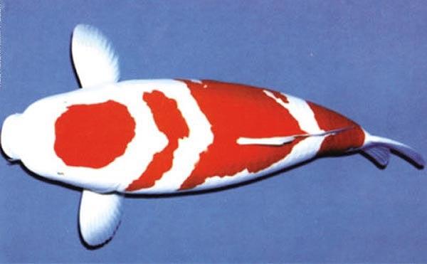 四段红白锦鲤
