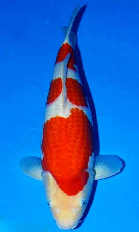 三段红白锦鲤