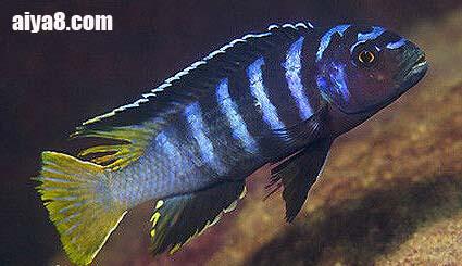 闪电王子鱼图片