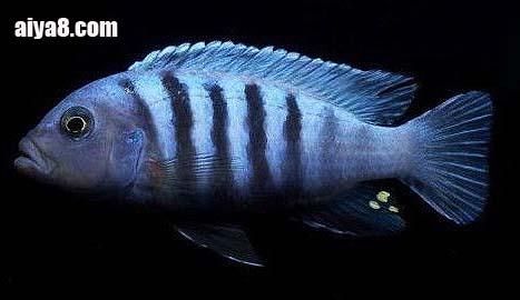 闪电王子鱼