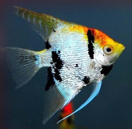 神仙鱼图片