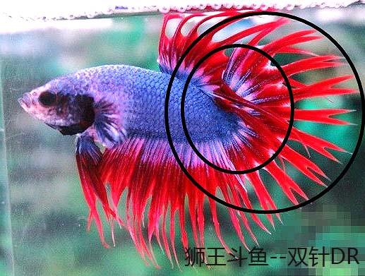 双针狮王斗鱼