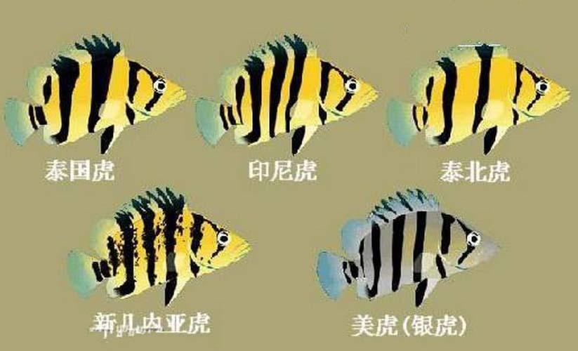 泰国虎图片