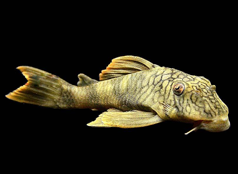 陶瓷娃娃异型鱼怎么养