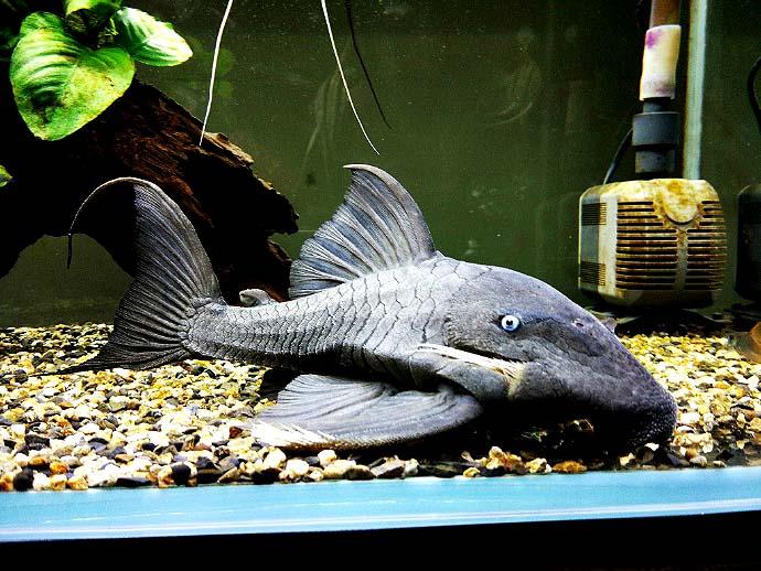 蓝眼皇冠豹异型鱼