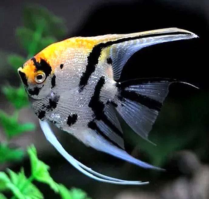 熊猫神仙鱼