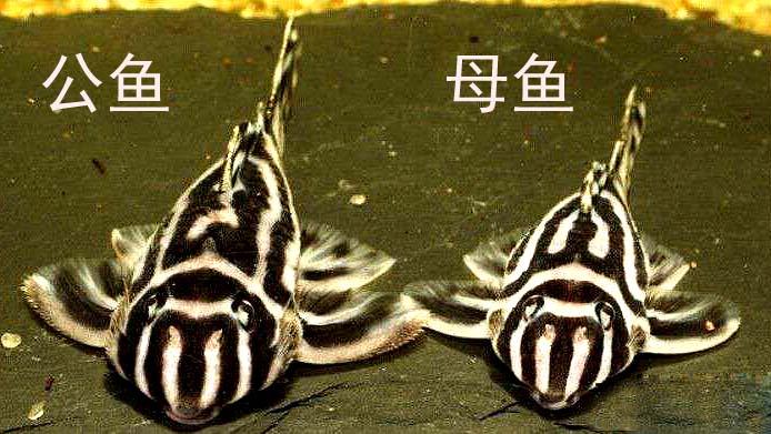 熊猫异型鱼公母分辨详细图文