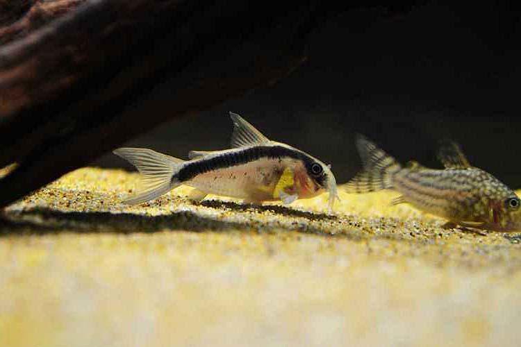 印第安鼠鱼