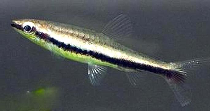 一线铅笔鱼