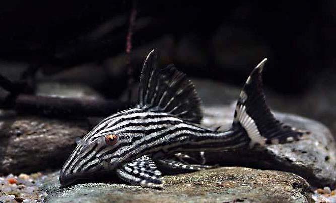 新手怎么养好异型鱼