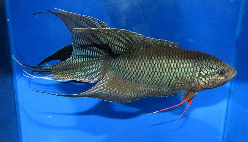 越南黑叉尾斗鱼