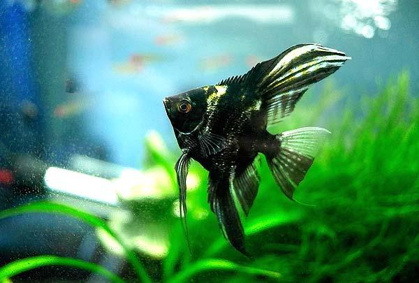 云石神仙鱼怎么养