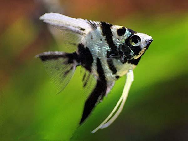 云石神仙鱼