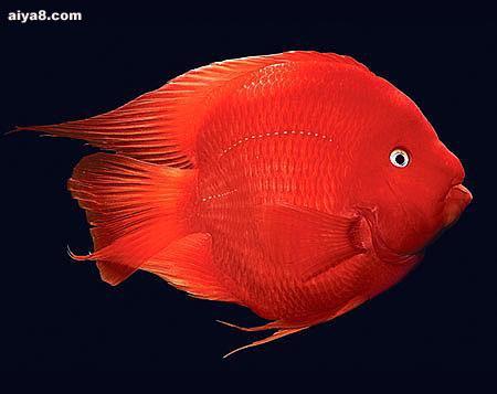 鹦鹉鱼图片
