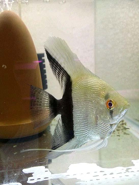 鸳鸯神仙鱼