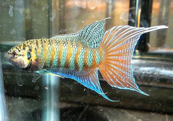中国叉尾斗鱼