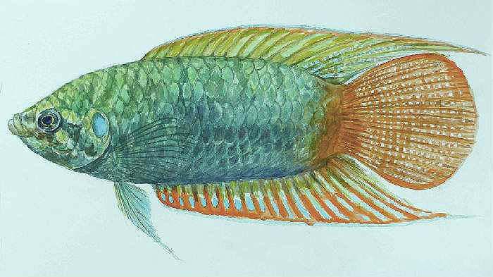 中国圆尾斗鱼