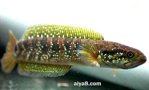 珍珠赤雷龙鱼