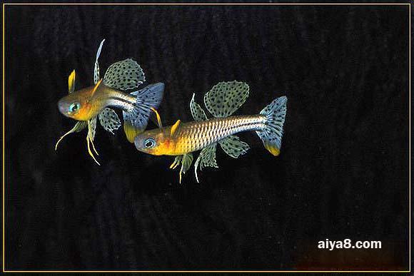 珍珠燕子鱼图片