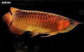 龙鱼体外寄生虫的防治方法