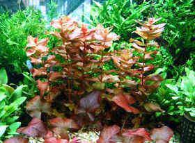 紫外线,花青素和红色系水草