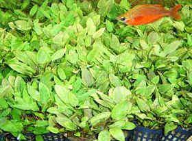 绿温帝椒草