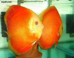 判�e七彩神仙鱼健康