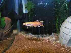 黄金火焰�鱼