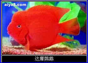 达摩鹦鹉鱼