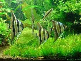 埃及神仙鱼生活习性