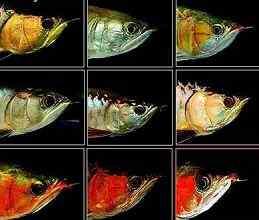 龙鱼眼病的治疗――因生理性伤害导致龙鱼凸眼、失明,或掉眼的治疗