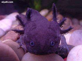 墨西哥蝾螈火蜥蜴娃娃鱼