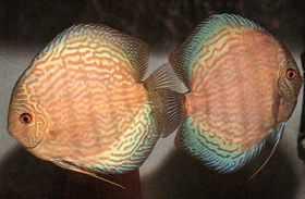 淡水神仙鱼的品种分类
