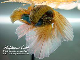 很美的斗鱼图片