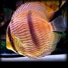 观赏鱼的病因及病态表现