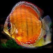 野生棕七彩神仙鱼