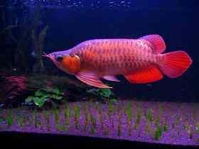 龙鱼常见疾病发病原因与治疗方法(2)