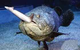 巨石斑鱼活吞1米长白鳍鲨