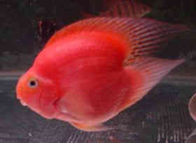 血鹦鹉鱼饲养秘技