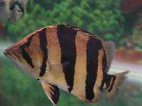 泰国老虎鱼