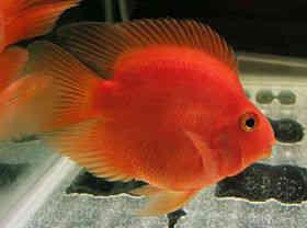 漂亮的鹦鹉鱼