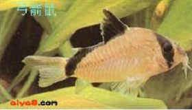 可爱鼠鱼品种图片