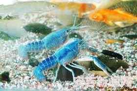 全身蓝色的龙虾成为宠物
