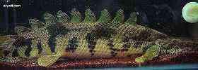 虎纹恐龙王