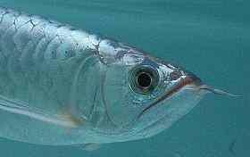 裸缸饲养龙鱼的优点与缺点
