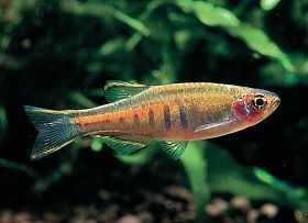 电光斑马鱼