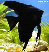 黑神仙鱼黑燕